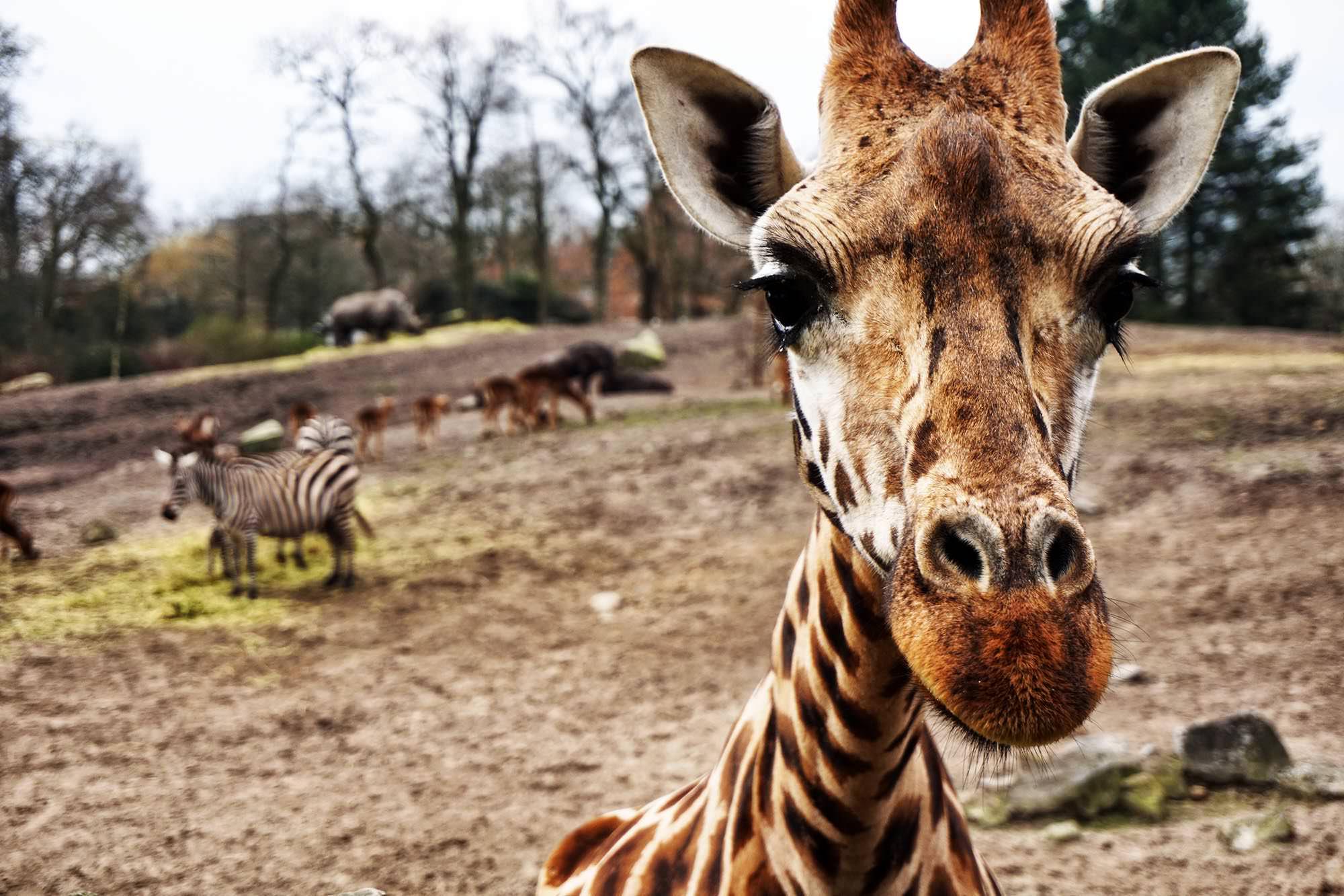 marten ven den heuvel Giraffe detail Netherlands Up cW.jpeg