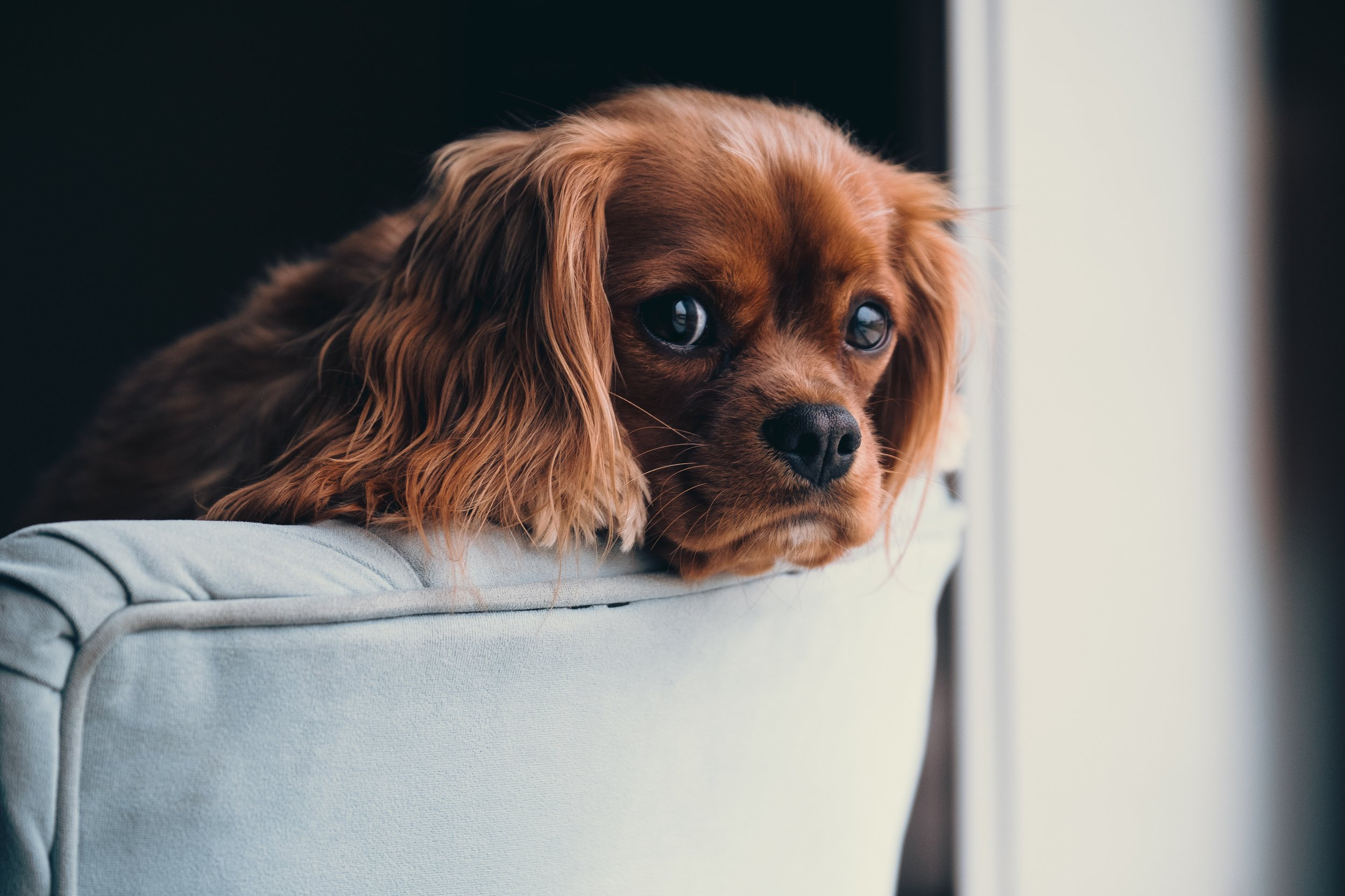 red cocker spaniel puppy on sofa A. Branch Up cW
