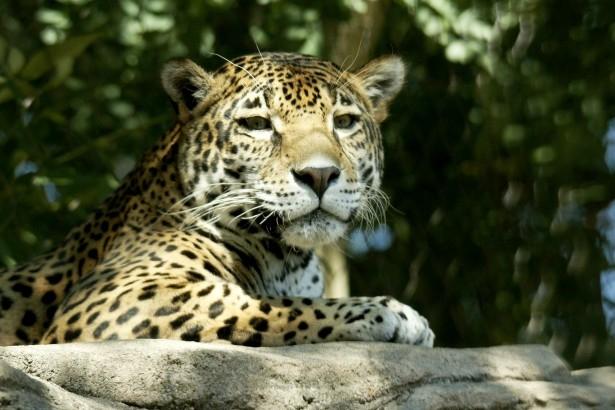 Jaguar endangered species along US Border Wall