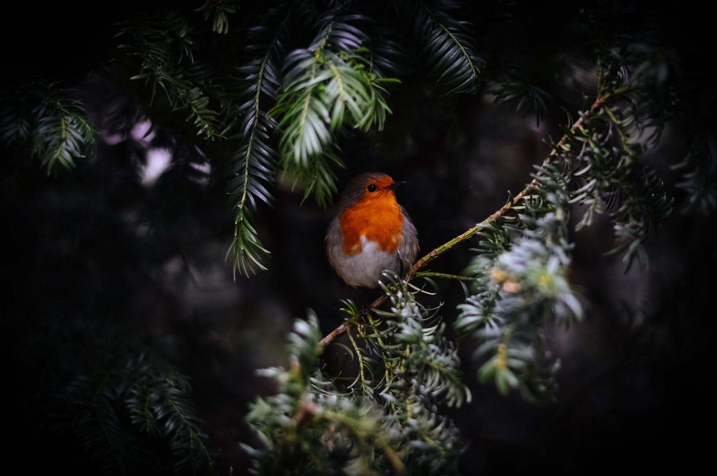 Robin bird in pinetree biel morro Up cW.jpg