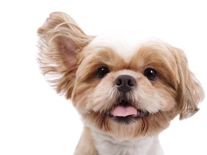 dog-whistle cute little dog listening.jpg