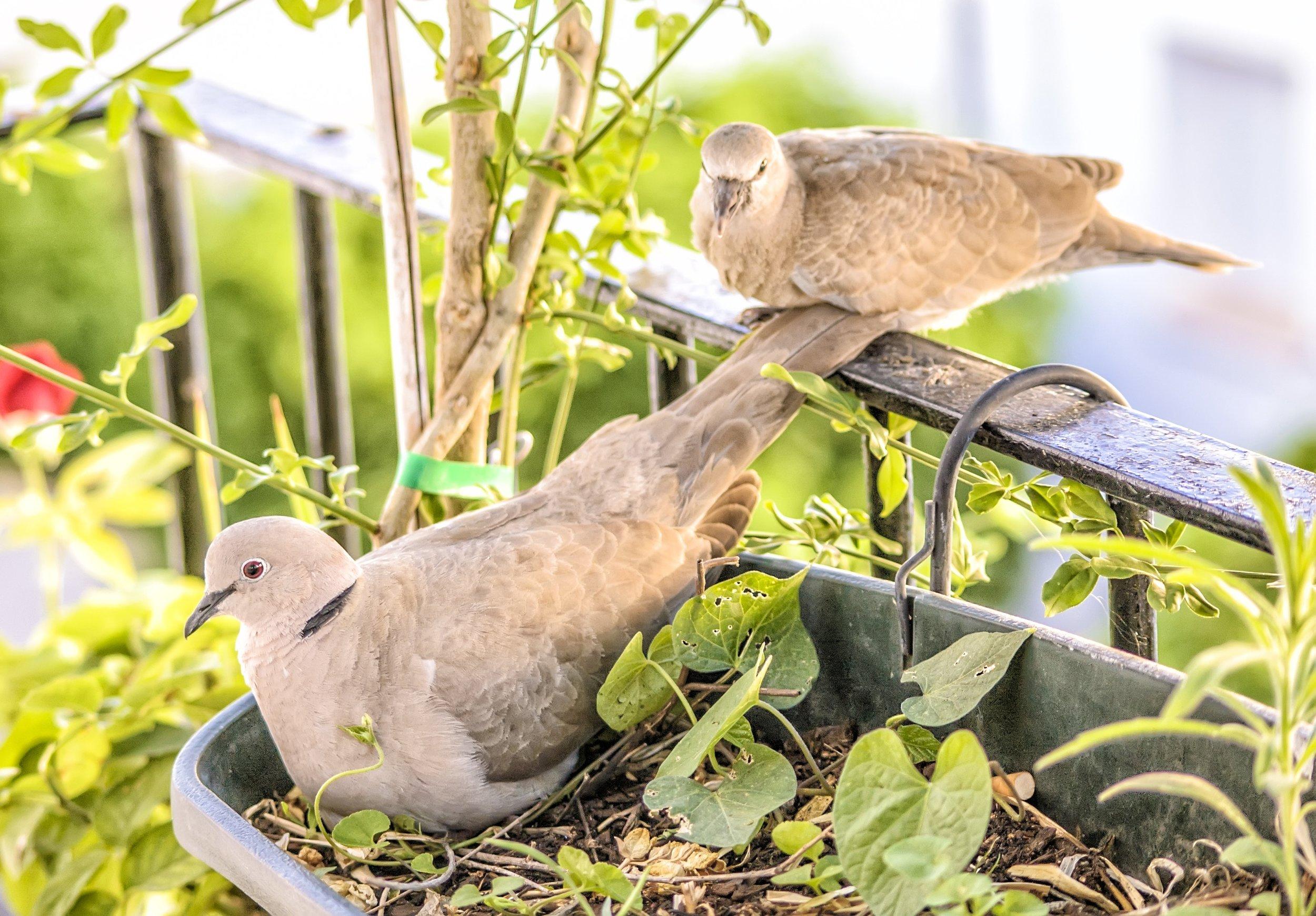 felipe-lopez- two doves Up cW.jpg