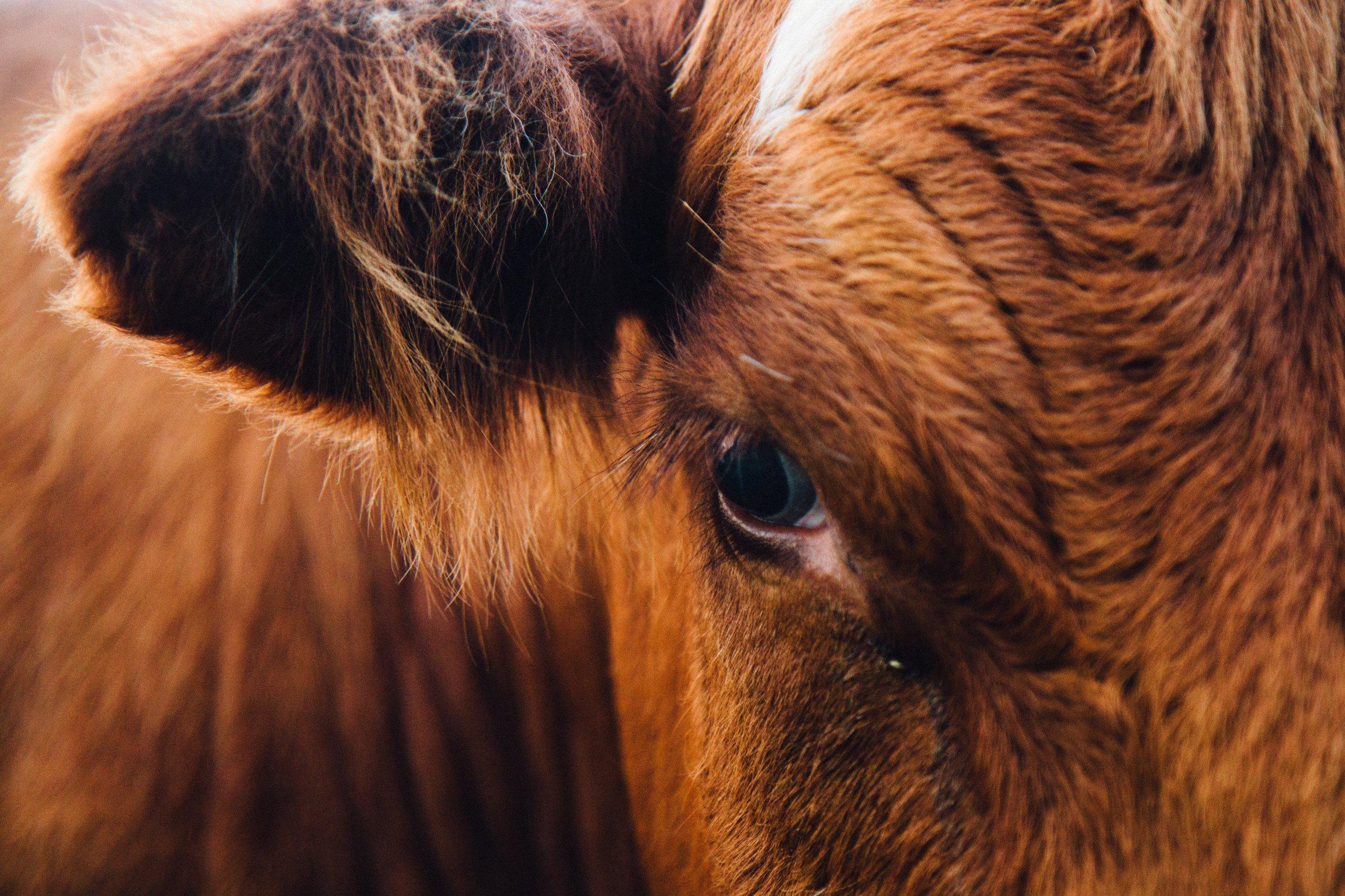 antonio-grosz-brown Cow portrait Up cW.jpg