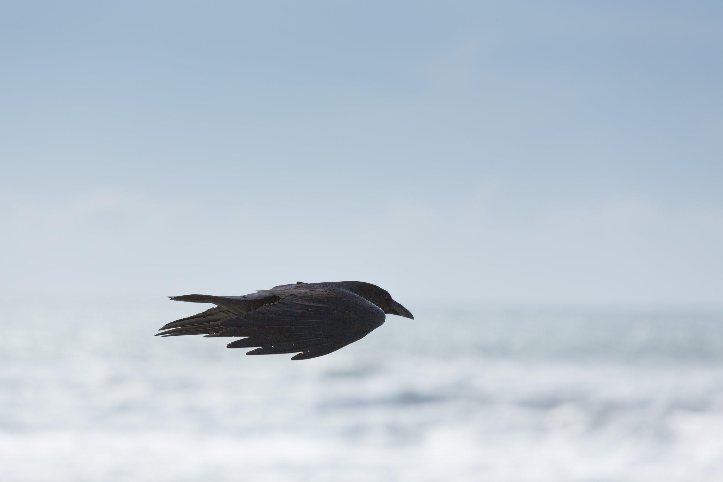 ignacio-giri black bird flying Up cW.jpg