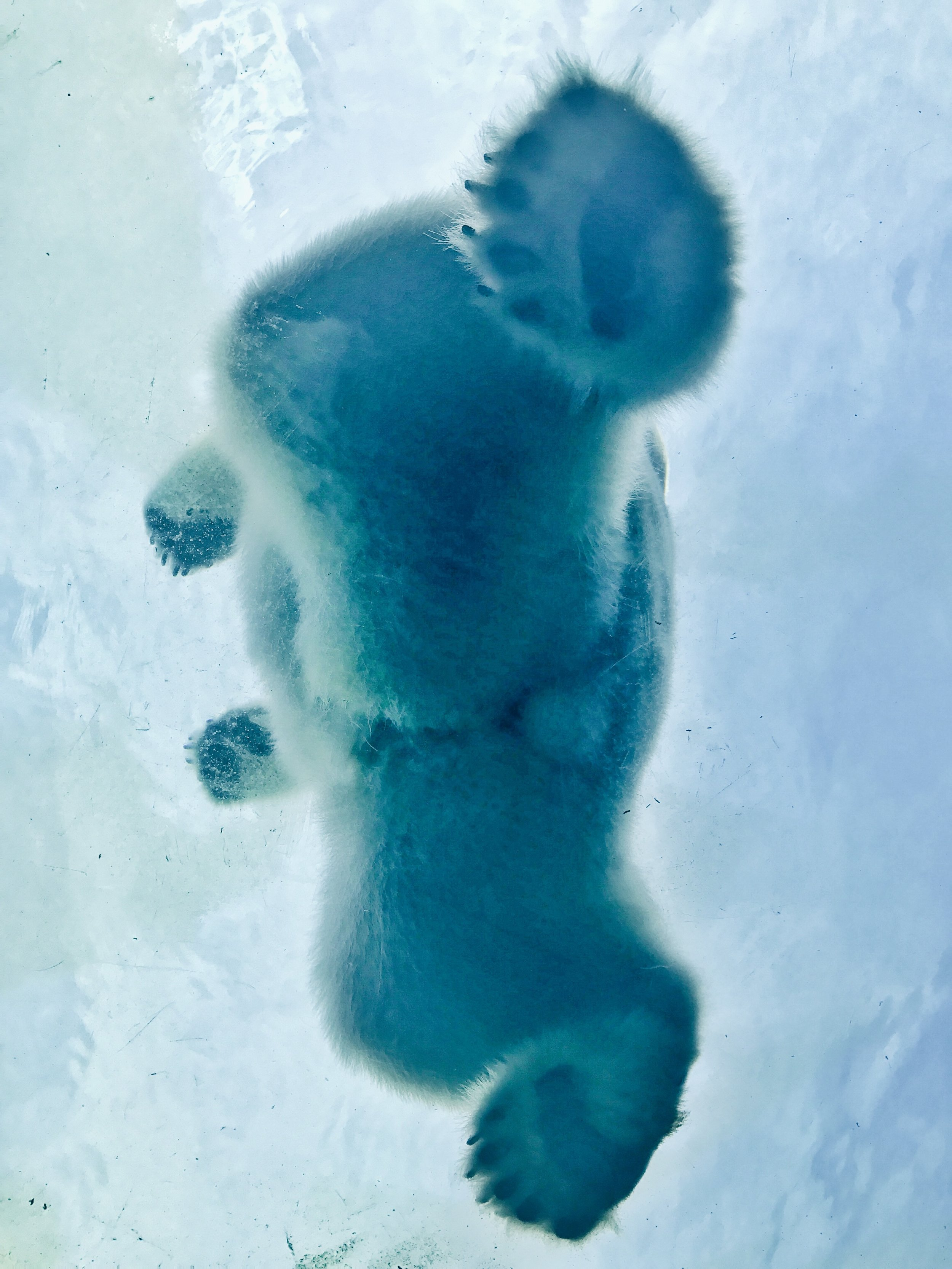 carlos-breton Polar Bear under the Ice Arctic Up cL.jpg