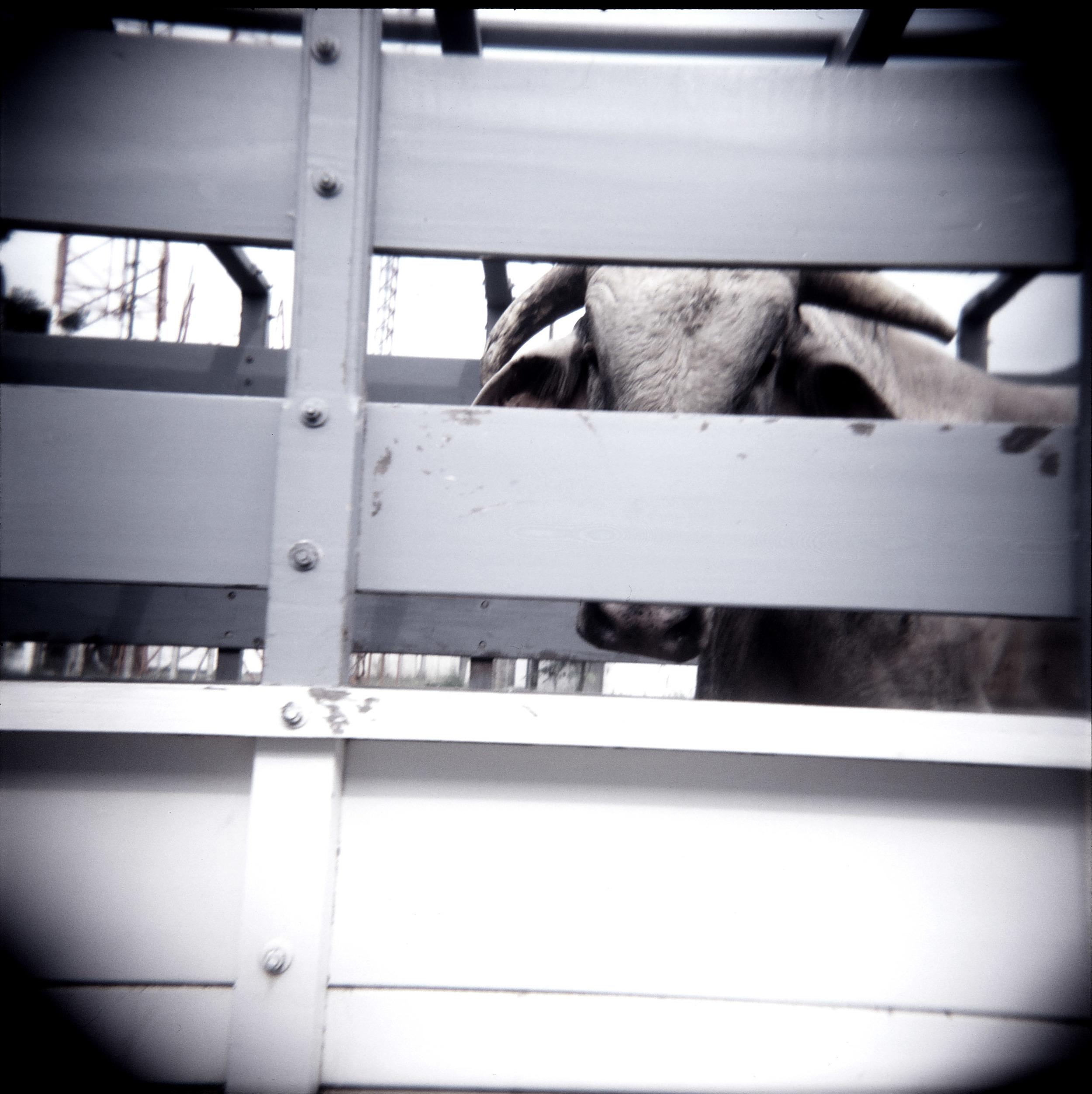 bull 2.jpg
