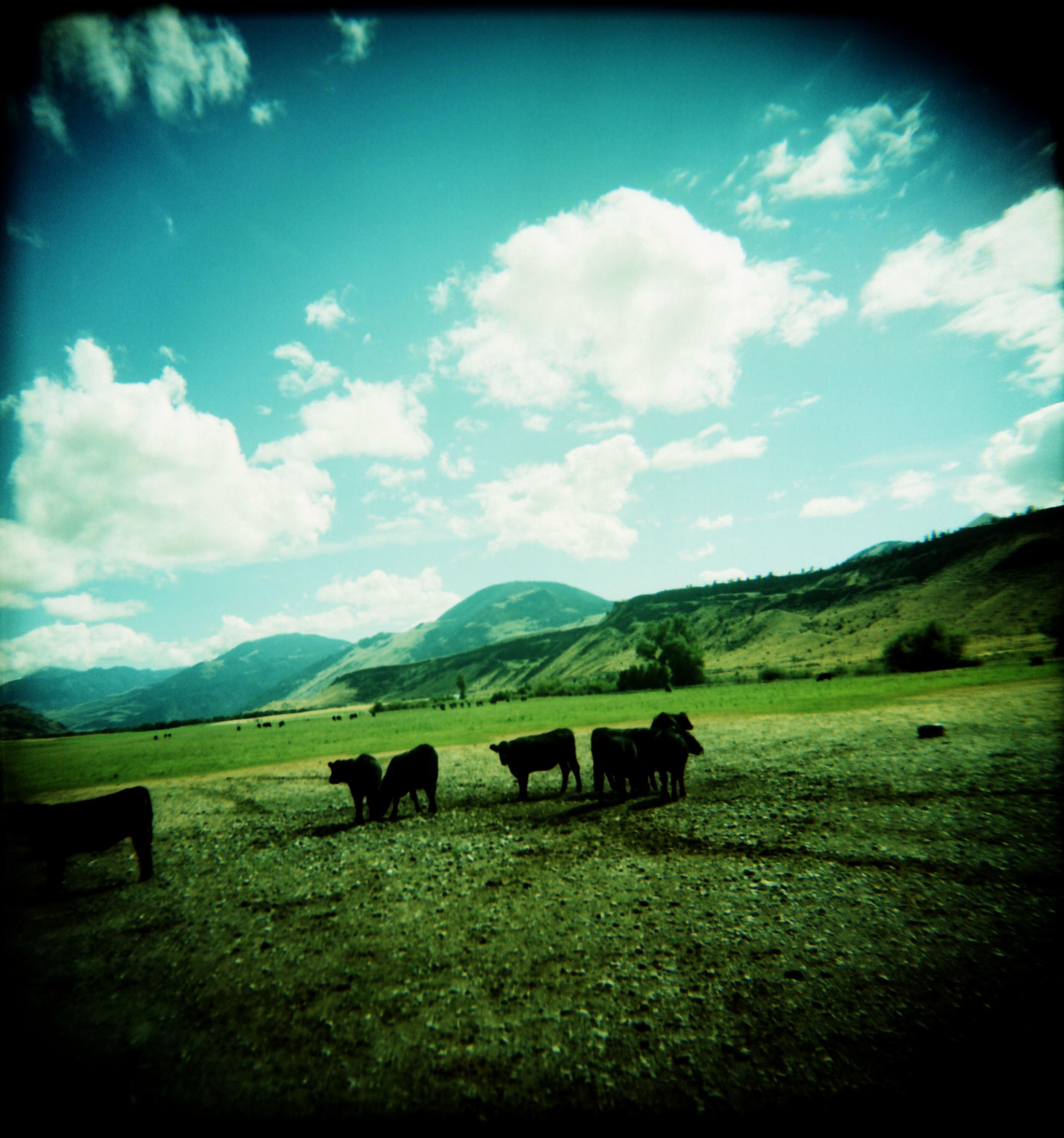 cows 2.jpg