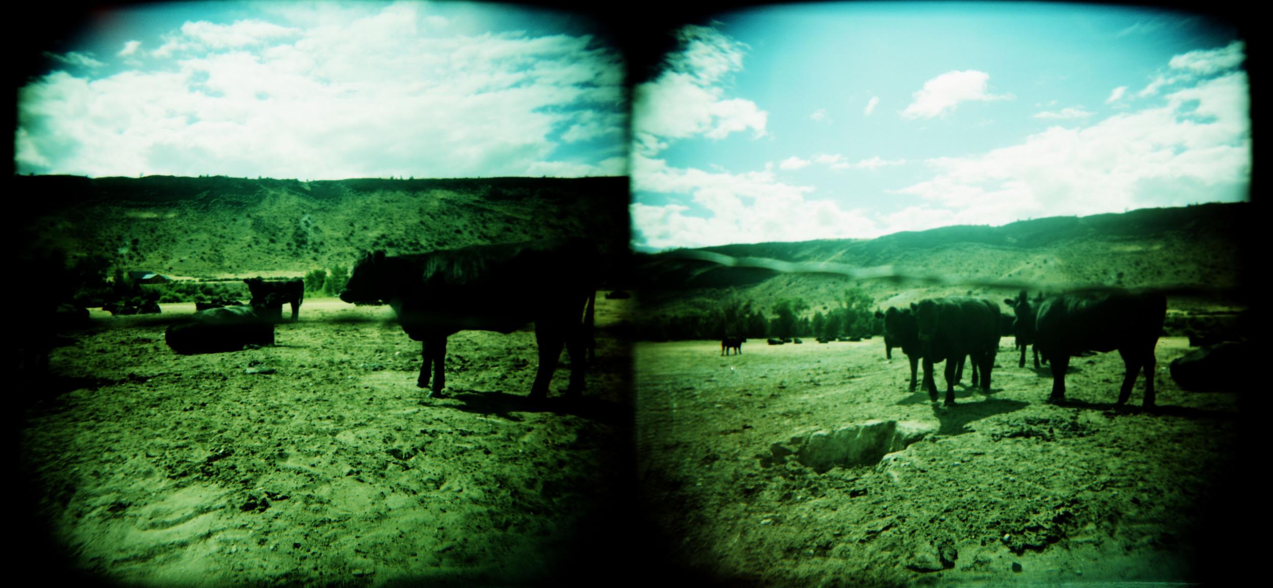 cows 6.jpg