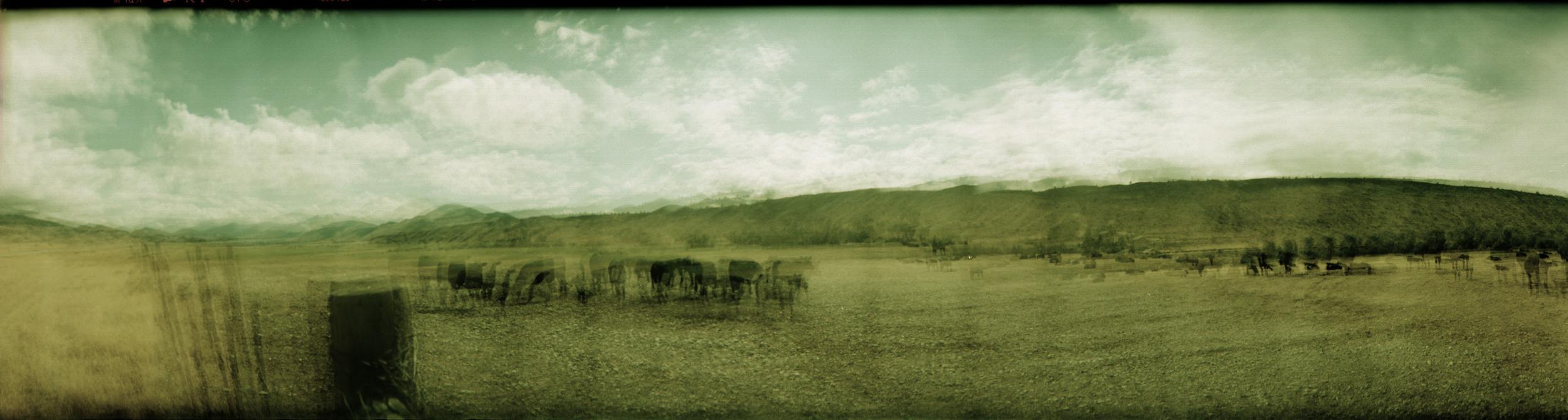 cows pana 2.jpg