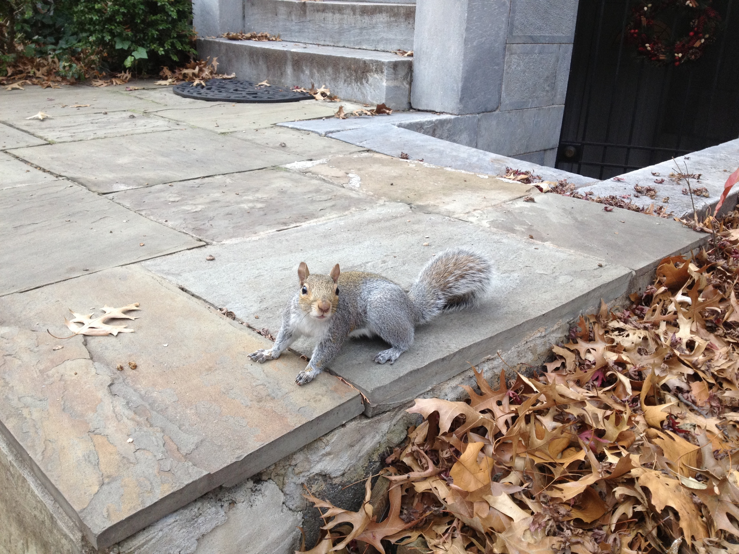 Squirrel buddy, Washington DC, 12-12-12, iPhone no zoom