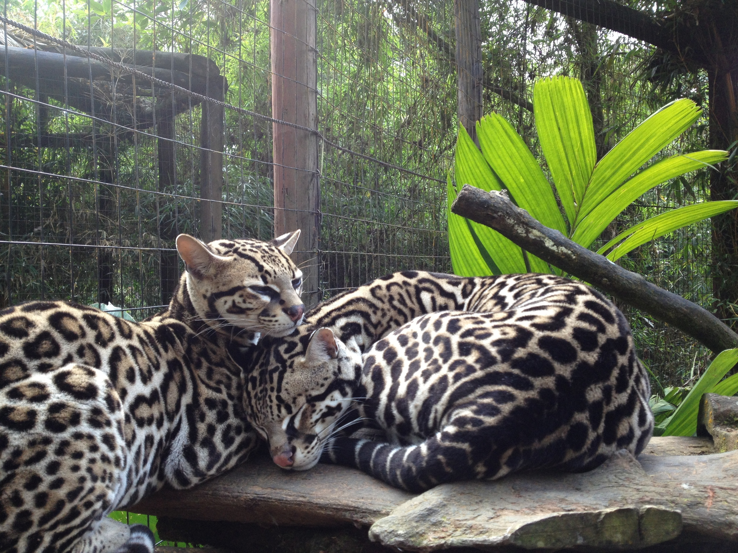 Luci Butler with Ocelots at La Paz Waterfall Gardens Costa Rica
