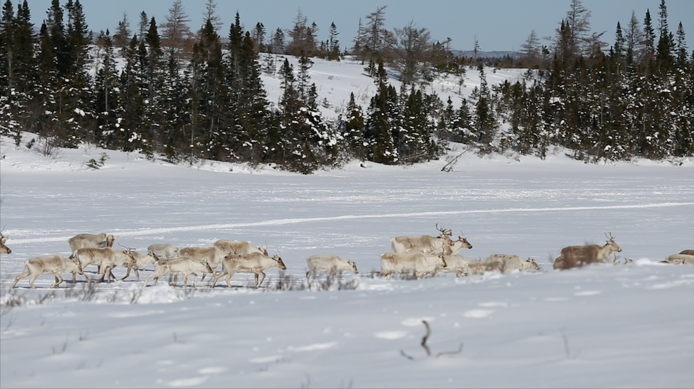 Herd of Caribou in the Area