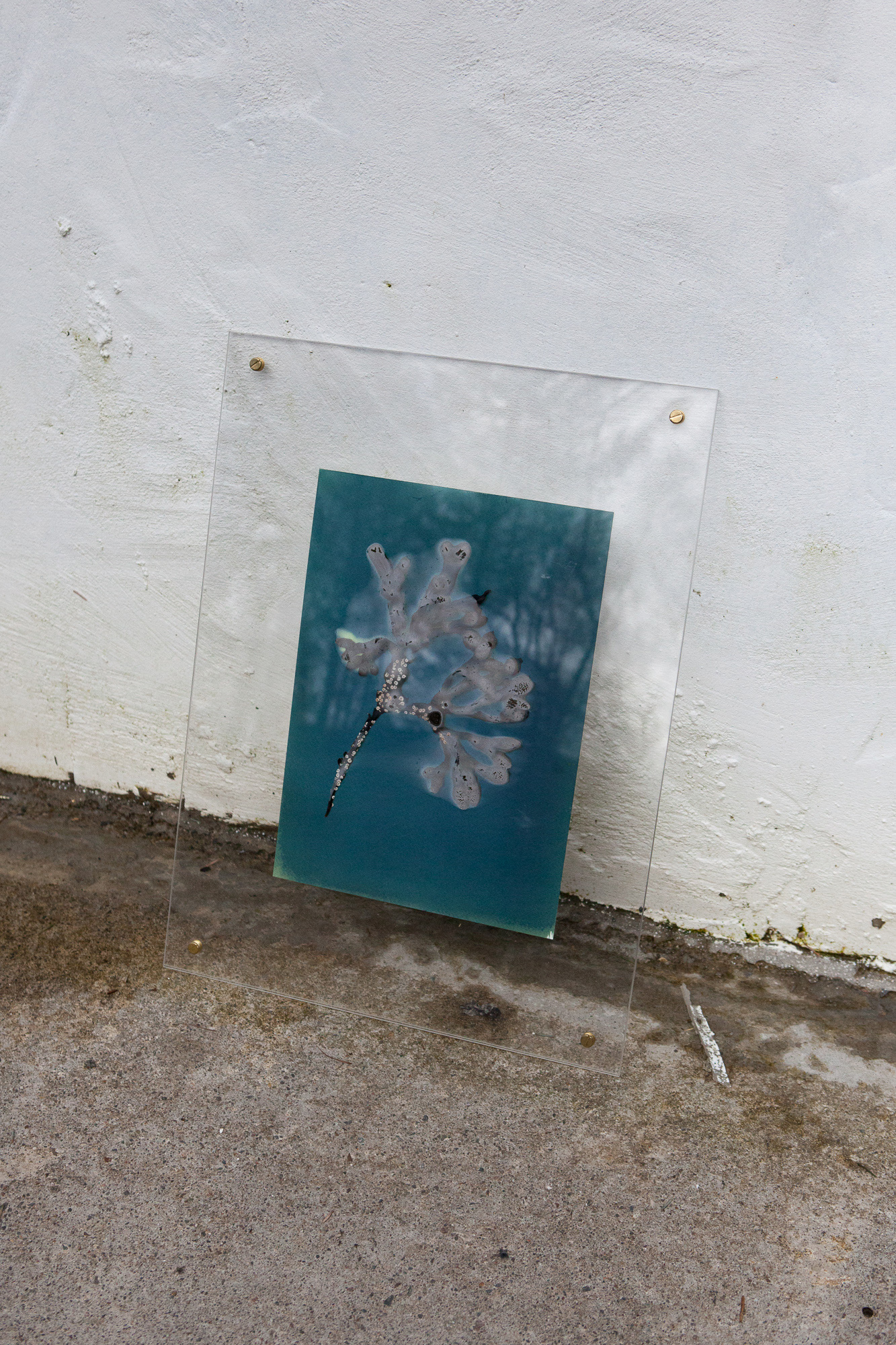 Seaweed on treated paper during exposure.