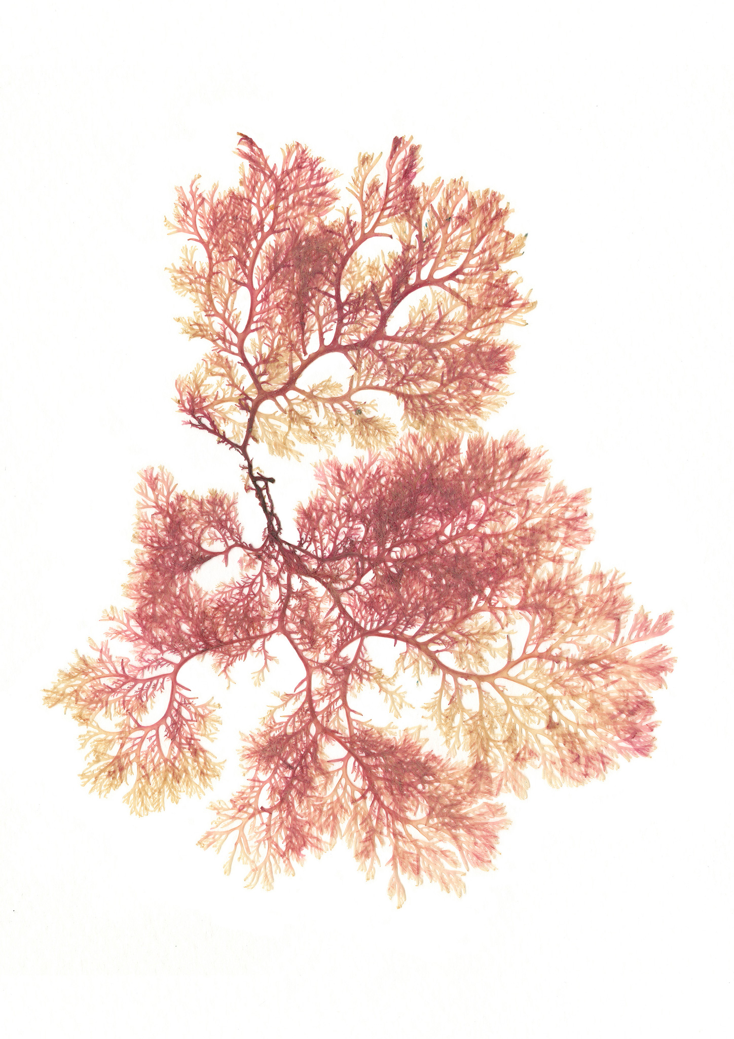 Pink-Pressed-Seaweed-Christina-Riley.jpg