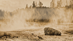 Yellowstone_Buffalo.jpg