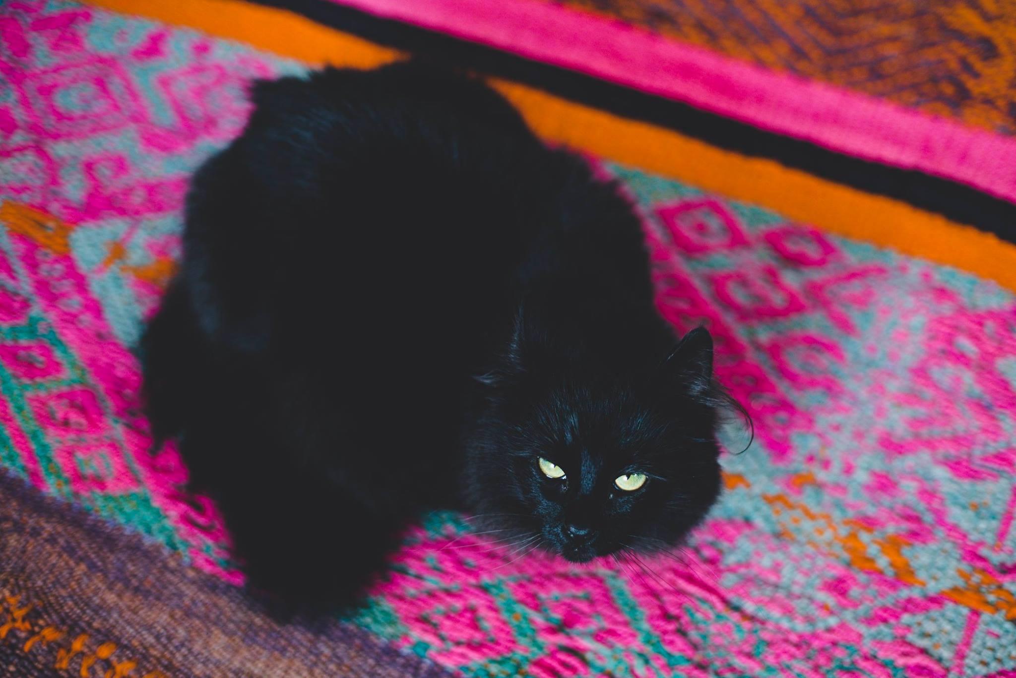 Bellatrix Lestrange The Wizard Kitty: The silky one.