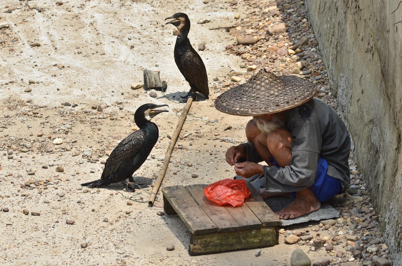 Pêche au cormoran