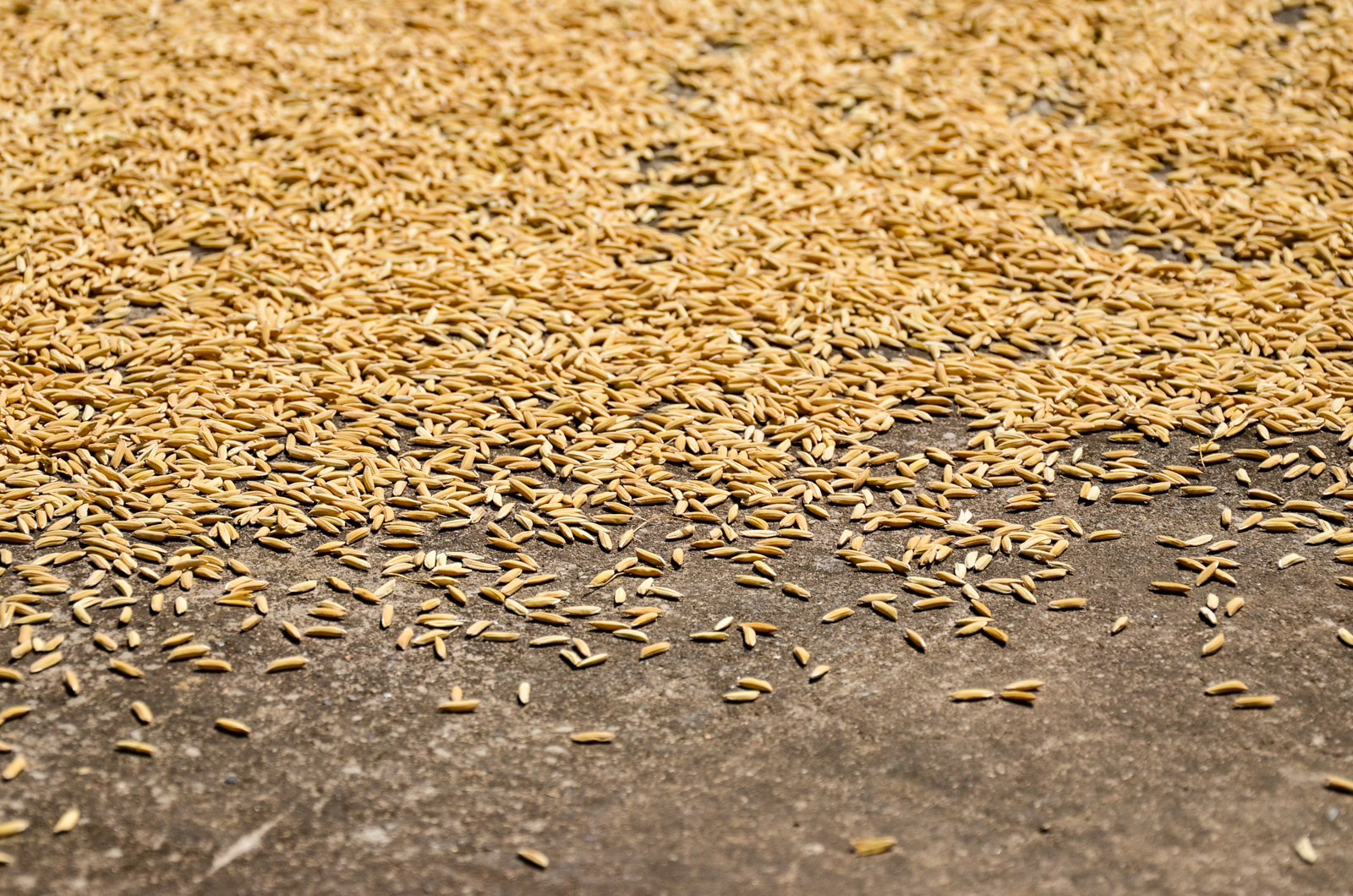 Séchage de riz