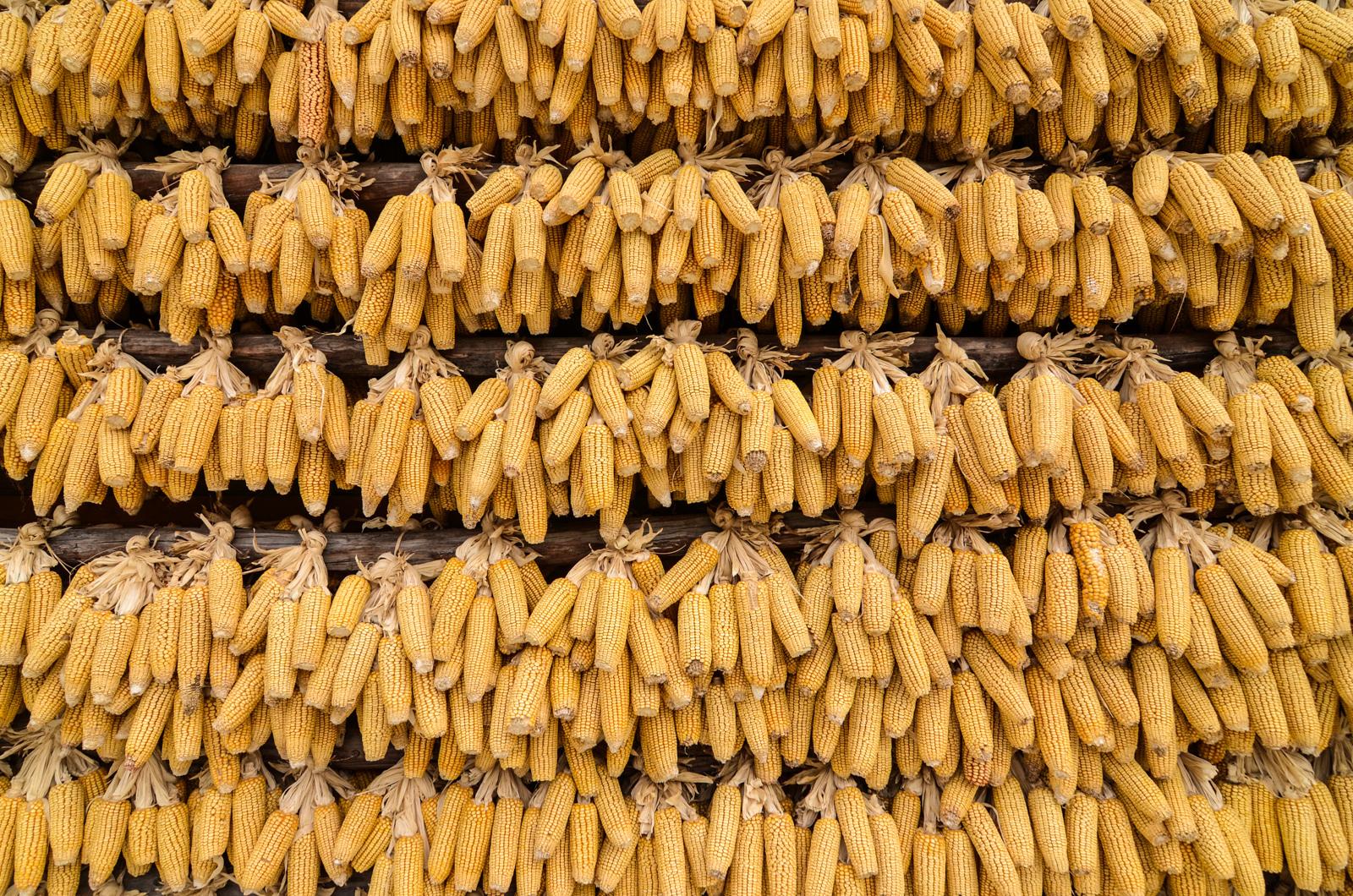 Mur de maïs