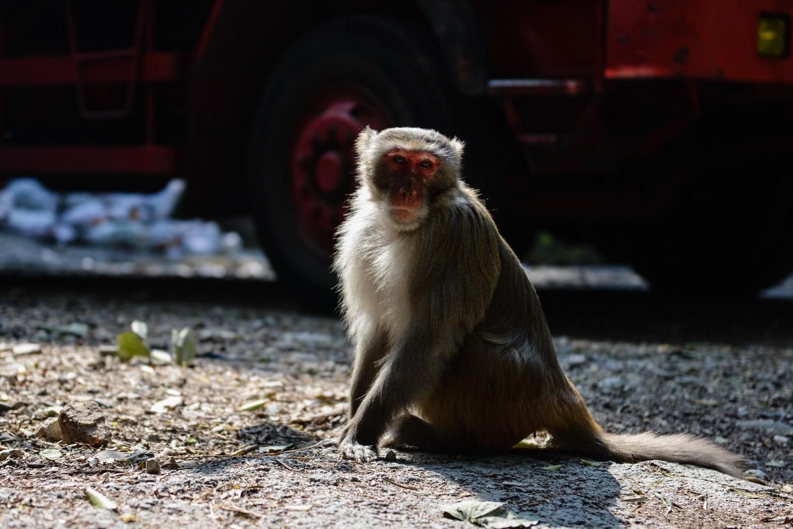 Un singe dans la ville