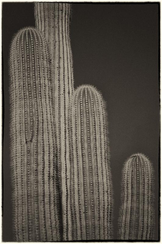 Saguaro Cactus 1_sep.jpg