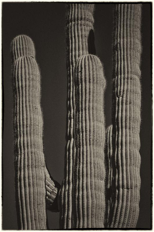 Saguaro Cactus 3_sep.jpg