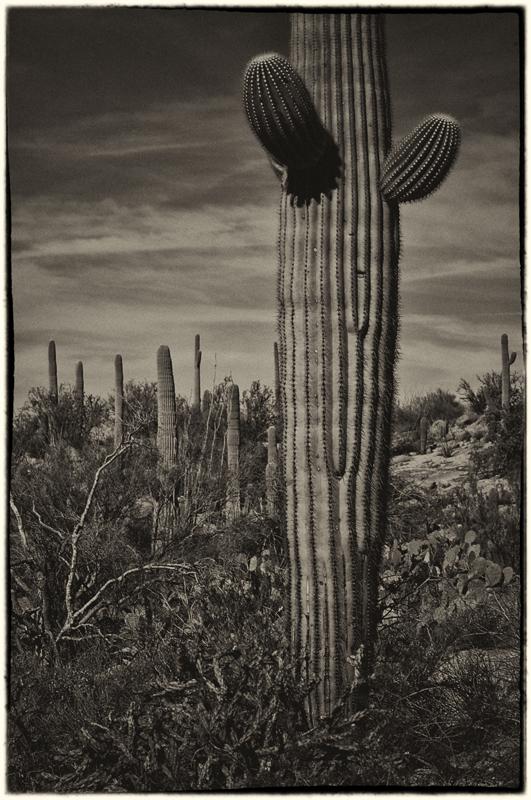 Saguaro Cactus 4_sep.jpg