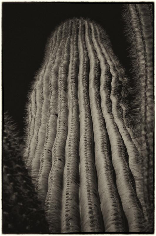 Saguaro Cactus 11_sep.jpg