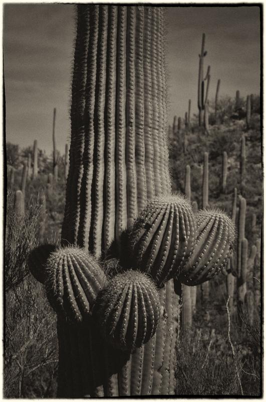 Saguaro Cactus 13_sep.jpg