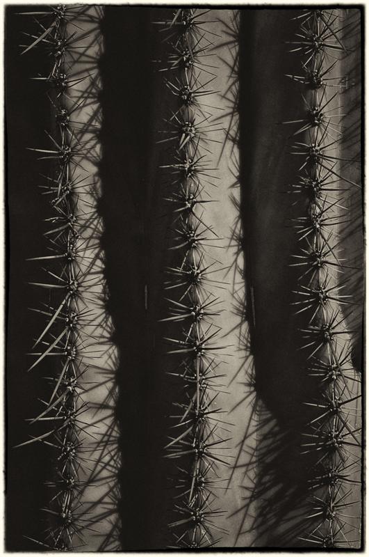 Saguaro Cactus detail_sep.jpg