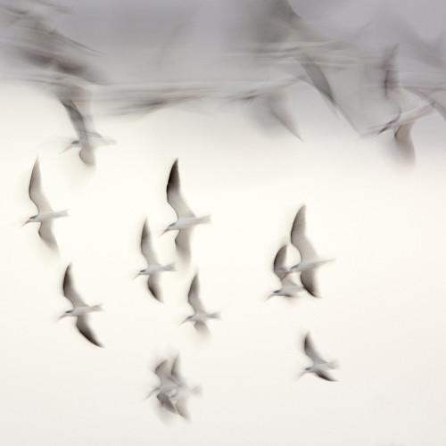 Skimmers in Flight. ©Lee Anne White.