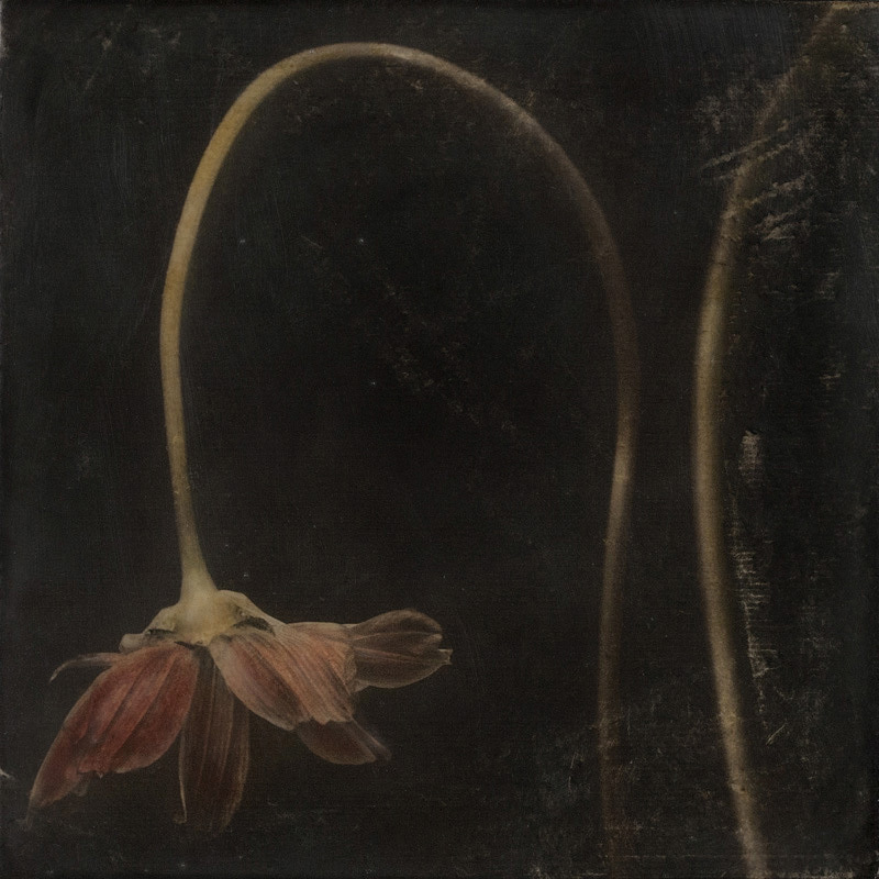 "Fading Glory . 8""x8"" hand-colored pigment print on birch panel with encaustic medium."