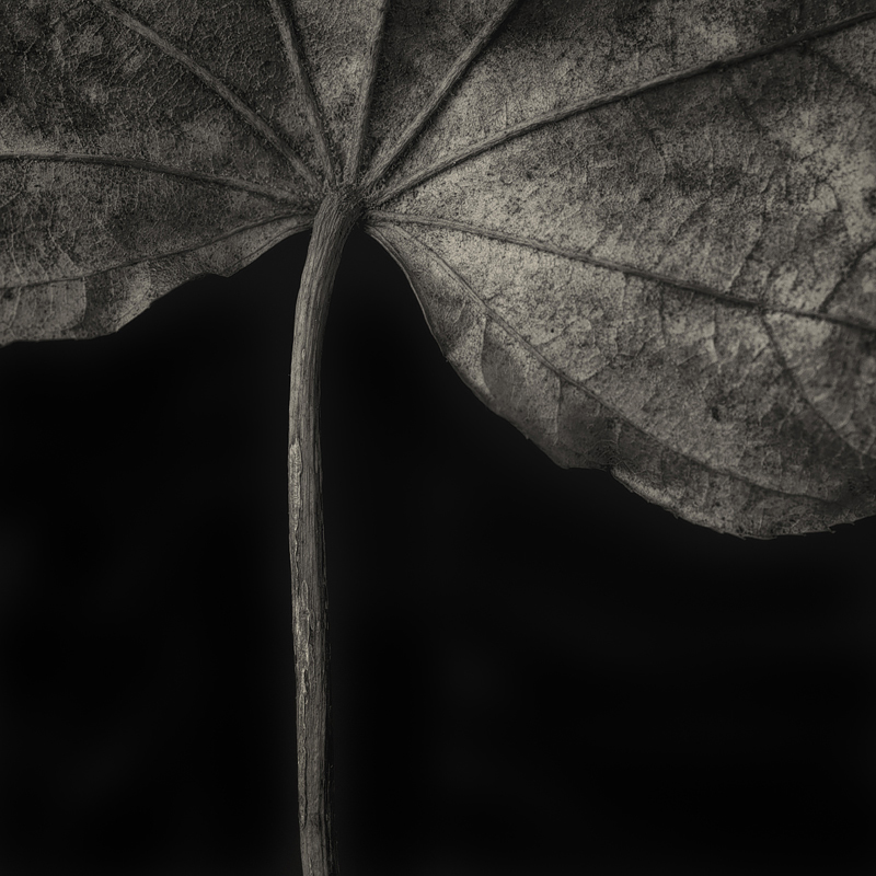 Kalopanax pictus.   Castor aralia. ©2016 Lee Anne White. Photographed last week in the new studio for the series,    A Bowing Acquaintance with Plants   .