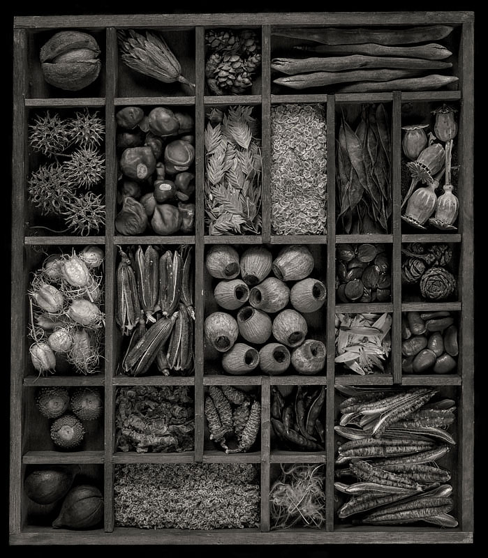 Seed Tray.  2016. Includes pods, nuts, seeds or cones from hickory, oak, sycamore, buckeye, hemlock, eucalyptus, redwood, redbud, maple, pawpaw, mesquite, wisteria, nigella, lilies, poppy, clematis, northern sea oats and Queen Anne's lace. © Lee Anne White