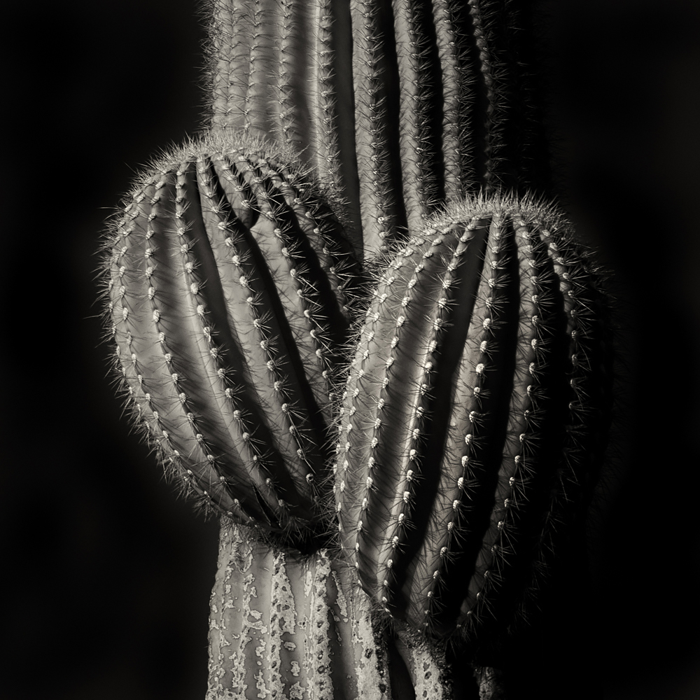 Saguaro cactus.   The towering saguaro can grow to more than 70 feet tall, providing food and protection for nesting birds. While only the Gila woodpeckers and gilded flickers manage to work around the spines to excavate holes for nesting sites, many other birds reuse the holes to raise their young.   ©  2016 Lee Anne White