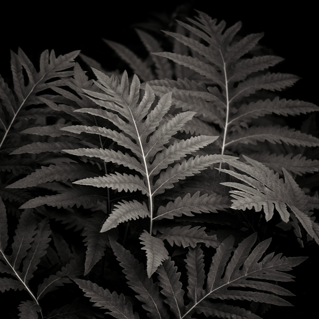 Sensitive fern ( Onoclea sensibilis ). ©Lee Anne White