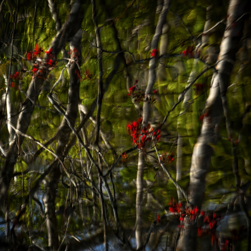 Flowering red maple reflected in black-water creek. Amelia Island, Florida. ©2017 Lee Anne White