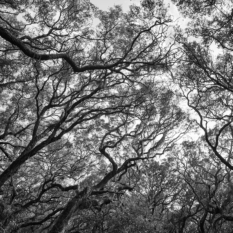 Live oak canopy. Fort George Island State Park, Florida. ©2017 Lee Anne White