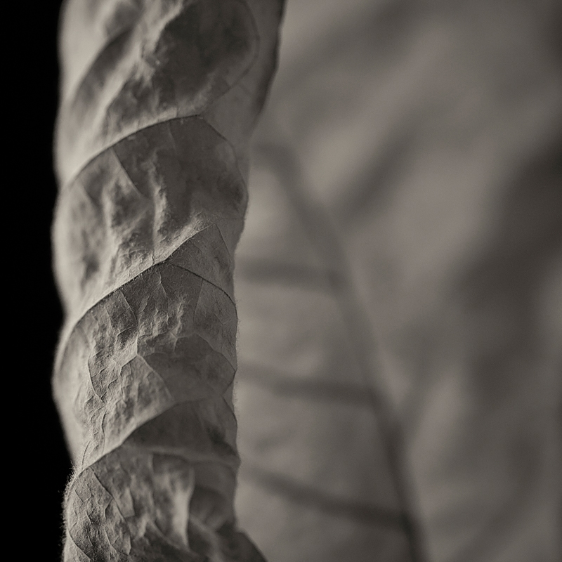 Detail. Leaf of bigleaf magnolia ( Magnolia macrophylla ). ©2016 Lee Anne White.