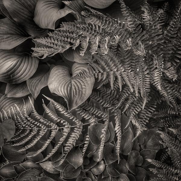 Hostas and autumn fer n (Dryopteris erythrosora)  in morning light .