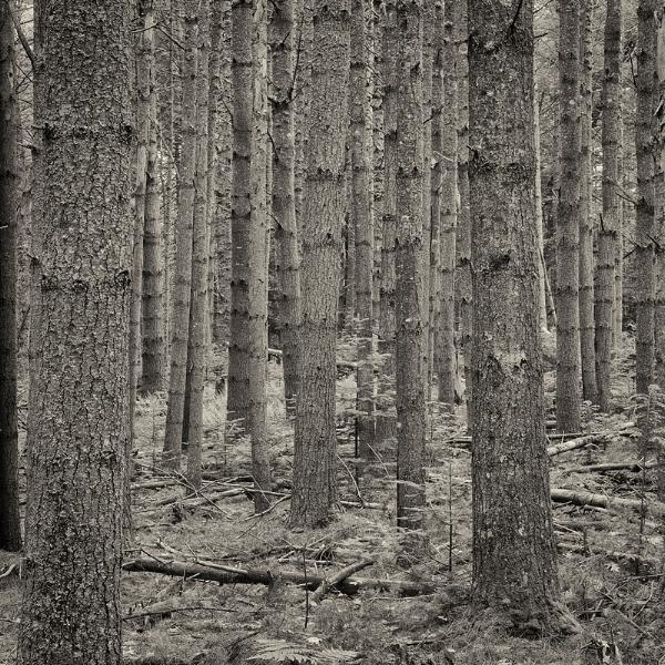 Pine Forest, Fernald Neck Preserve, Camden, ME . ©2017 Lee Anne White.