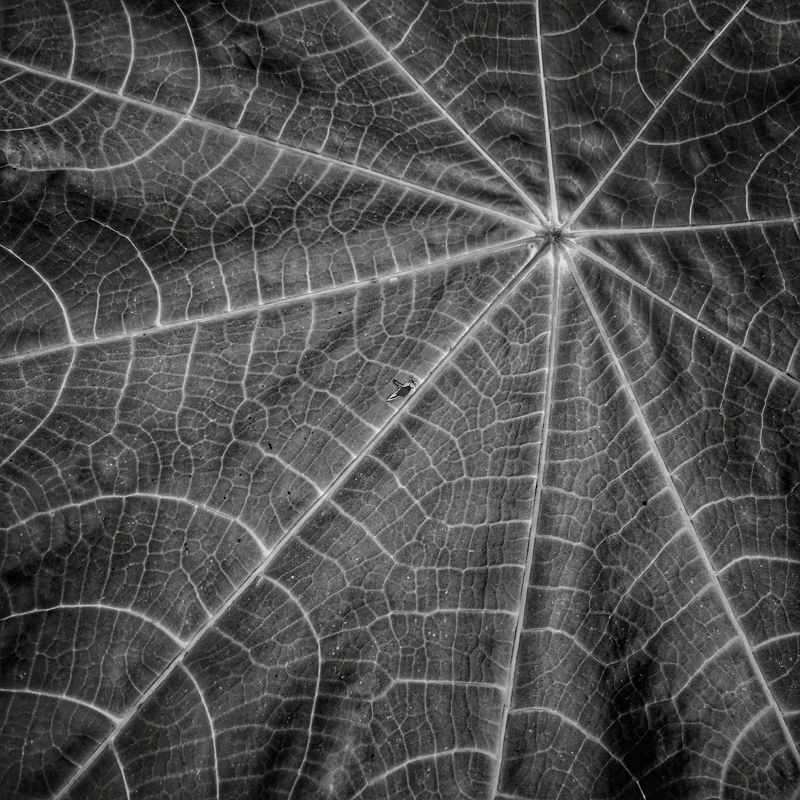 Ricinus communis , castor bean leaf. Photo ©2017 Lee Anne White.