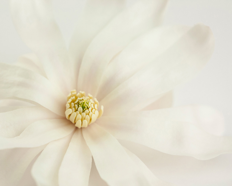 Magnolia stellata . Star magnolia flower. Photo ©Lee Anne White.