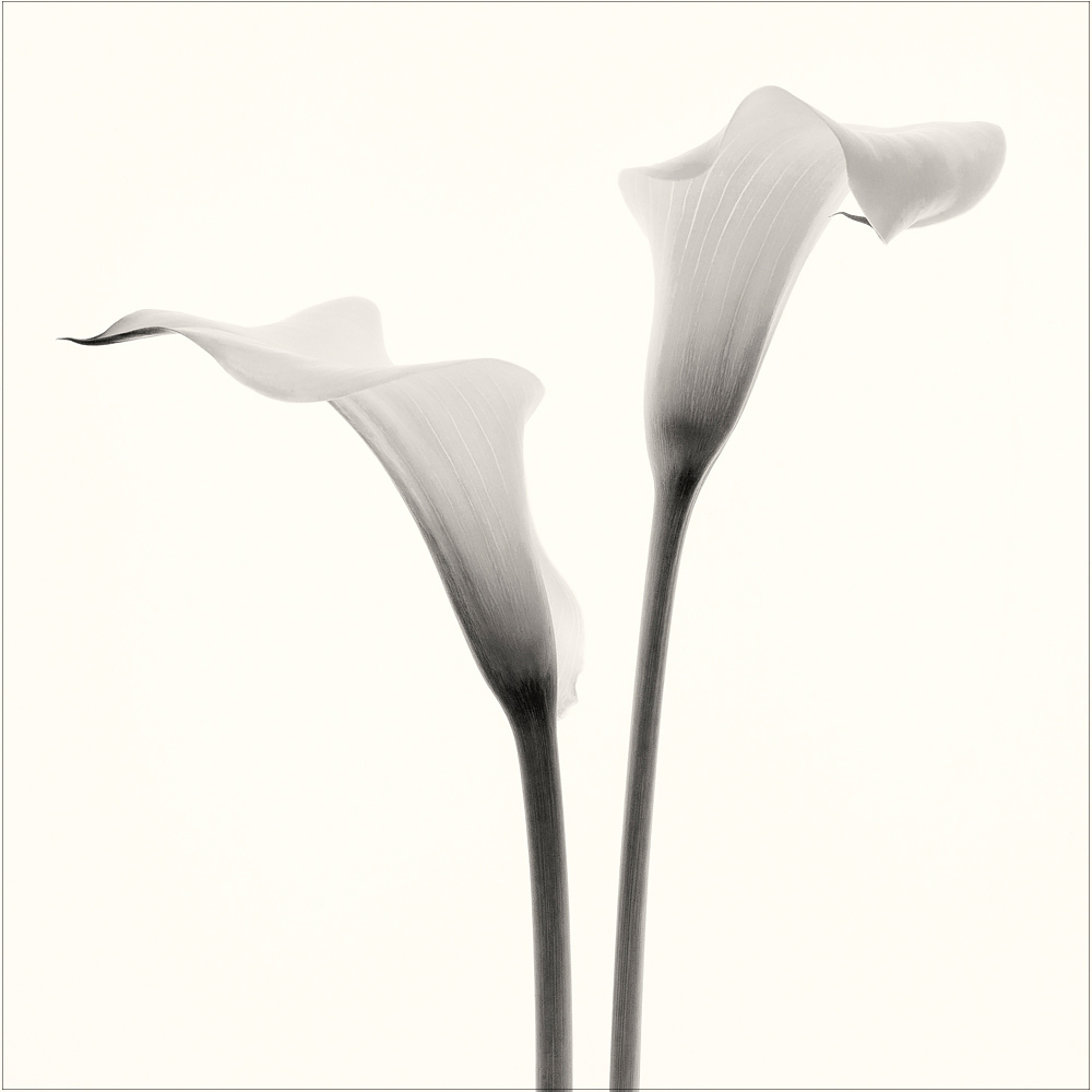 Zantedeschia antheopica.    The graceful flowers of calla lily.   Photo @2018. Lee Anne White.