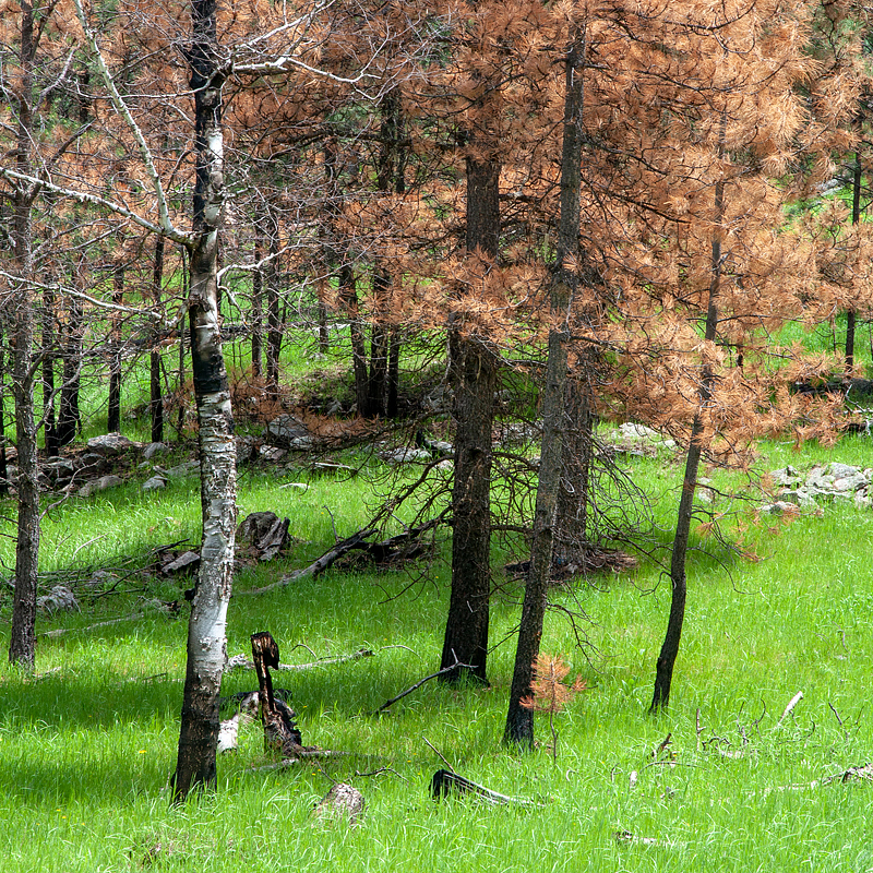 The Legion Lake Fire scorched trees, shrubs and ground covers last December. Already, the grasses are bouncing back in a process of regeneration.