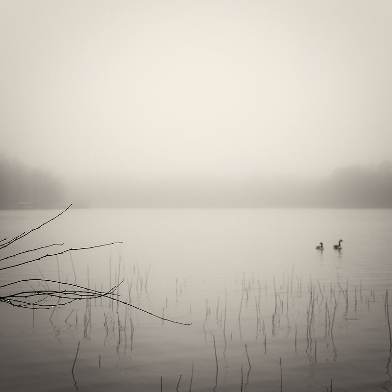 Canadian geese explore on a foggy morning on Lake Lanier. ©2019 Lee Anne White.