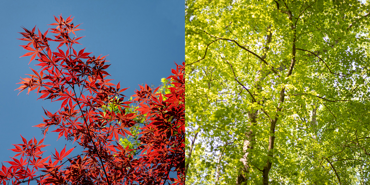 Leaves of a Japanese maple emerge brilliant red while beeches and maples in the local preserve put on a lime-green show. Photo ©2019 Lee Anne White.