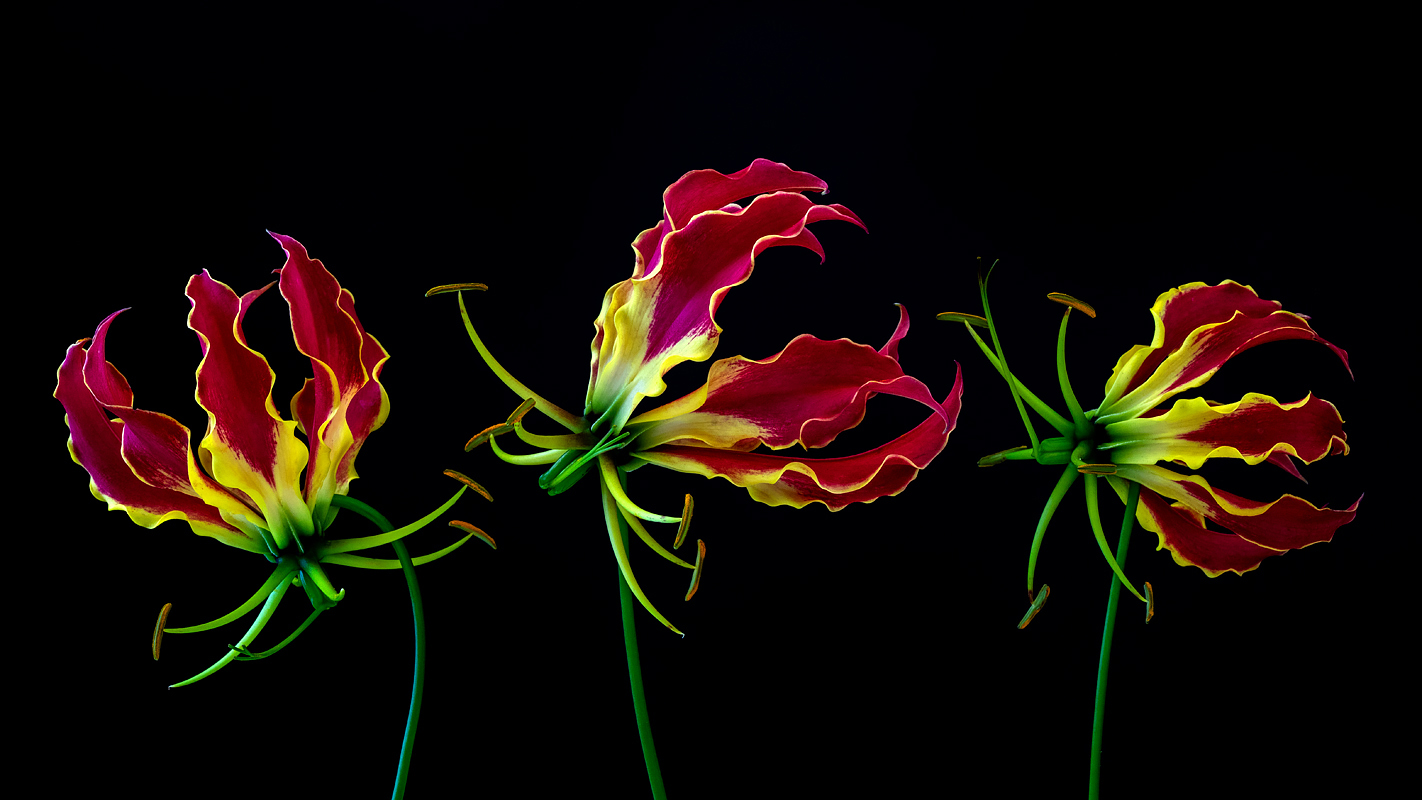 Gloriosa lilies ( Lilium rothschildiana ). Photo ©2019 Lee Anne White.