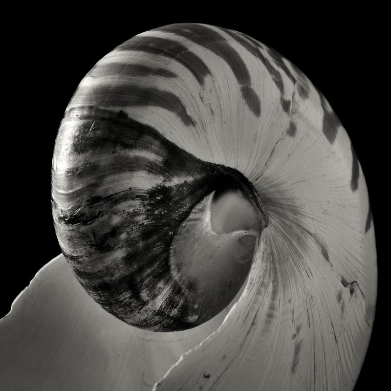 Chambered nautilus (Nautilus pompilio). ©2019 Lee Anne White