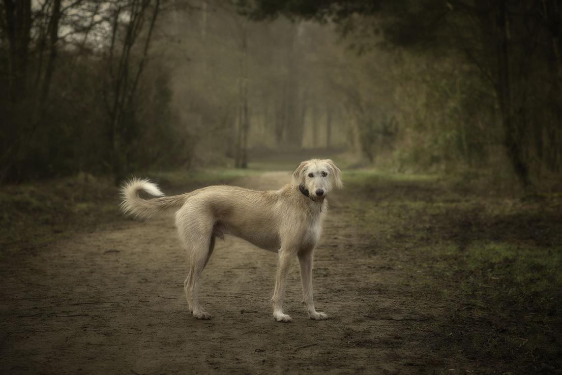 Lurcher Dog Portrait.jpg